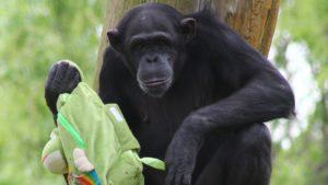 Szympansica Lucy z warszawskiego ZOO